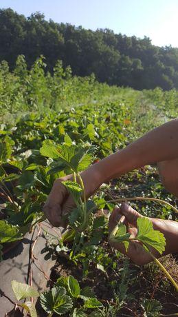 Розсада саджанці полуниці клубніки ягоди саженцы клубники  малины