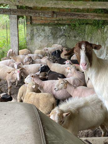 Varios tipos de ovelhas
