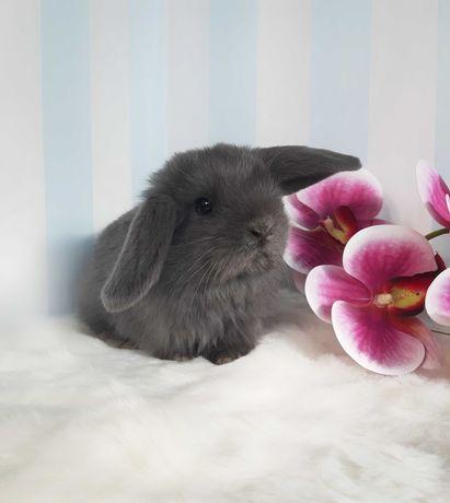 Króliczek Mini Lop królik miniaturka króliczek karzełek