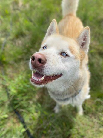 Dostojny Imbir w typie husky szuka swojego miejsca na ziemi