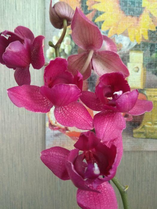 Цветущая орхидея фаленопсис Кимоно пилор бабочка,2 цветоноса, орхидеи Сумы - изображение 1