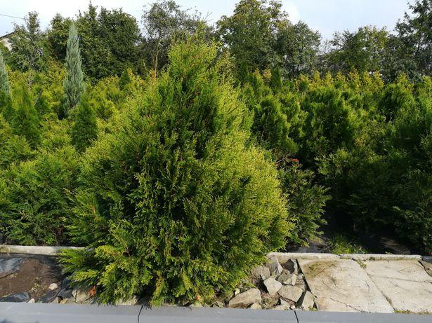 TUJE tuja z gruntu w odmianie KÓRNIK - szerokie drzewo, szmaragd