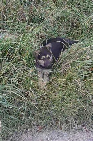 Собачка Німецька вівчарка(дівчинка)