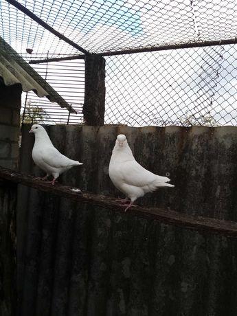 Продам пару голубей