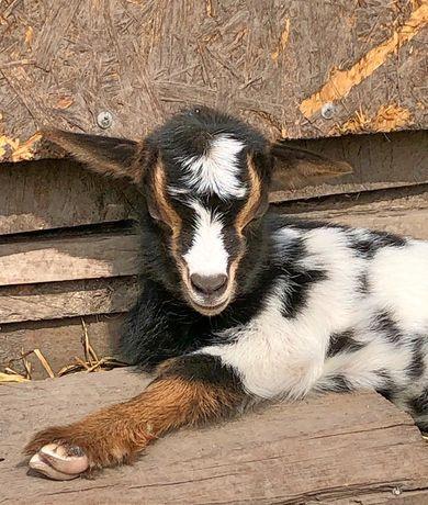 Карликовая камерунская коза козленок козочка