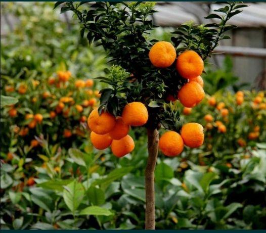 PROMOÇÃO Plantas de citrino exóticos e tropicais
