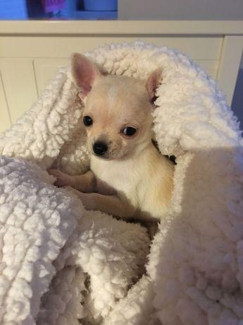 Chihuahua MICRO de BOLSO super mini