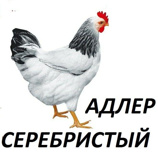 Яйцо курей породы Адлер Серебристый