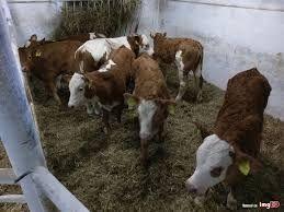 Byczki mięsne Jędrzejów