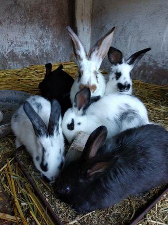 Кролики, кроленята, королі
