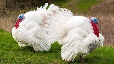 Цыплята утята гусята