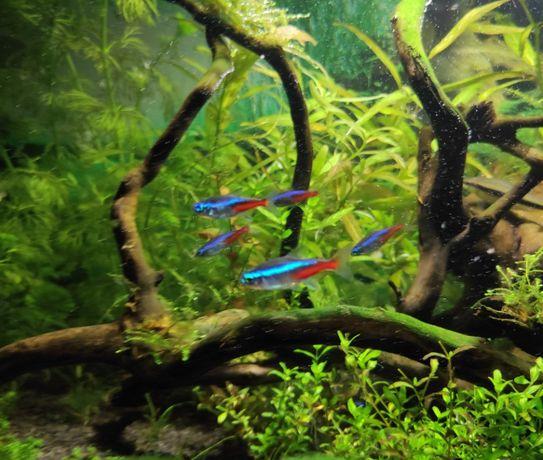 Neon Innesa pięknie wybarwione rybki