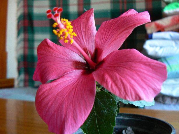 Гібіскуси кімнатні (китайська роза)