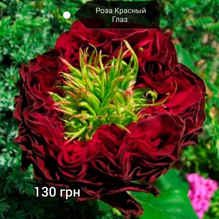 Роза Красный глаз троянда Червоне око Бурынь - изображение 1