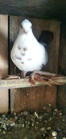 Wydymki gołębie ozdobne