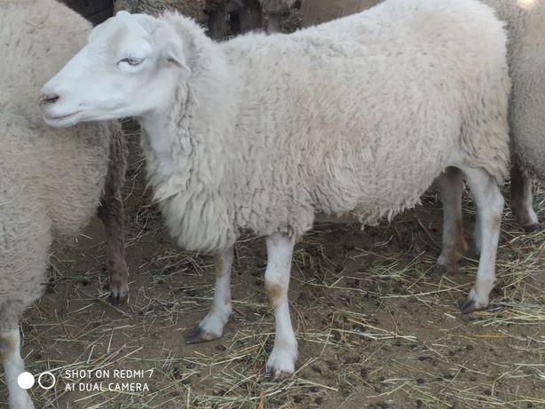 Продам овцу на Розведення