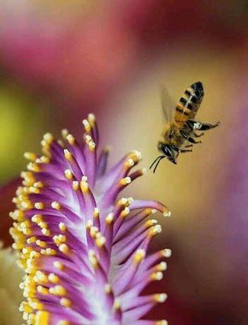 Продам бджолопакети породи Українська степова.