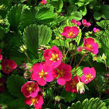 Клубника с малиновыми цветами