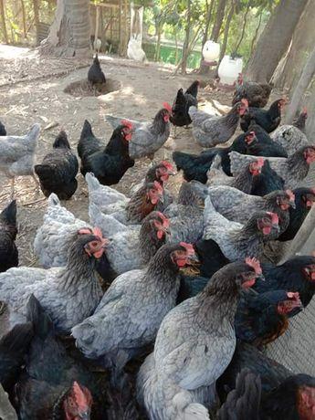 Kury Kokoszki kolorowe kaczki gęsi perliczki brojlery leghorny ferma