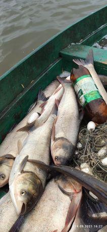 Продам живая рыба.толстолоб.самовывоз