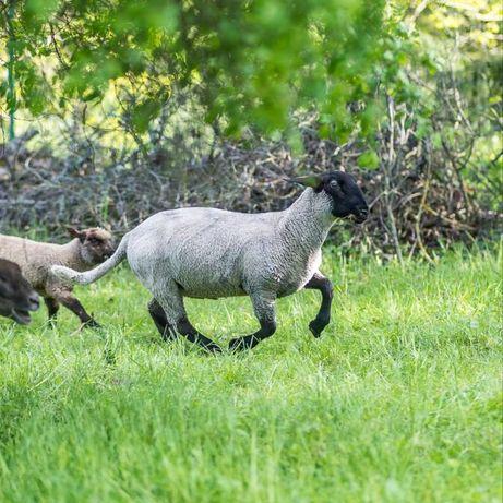Owce mięsne (suffolk, czarnogłówka), hodowlane - jarki i tryki