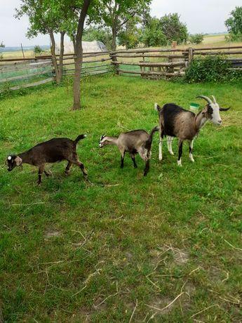 Sprzedam koze mleczną z jagniakami