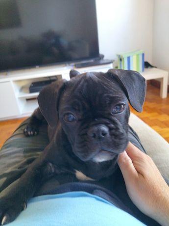 Bulldog francês femea com 70 dias