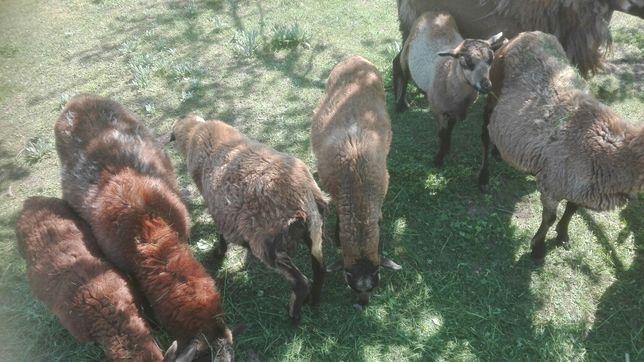 Owieczka i baranki kameruńskie
