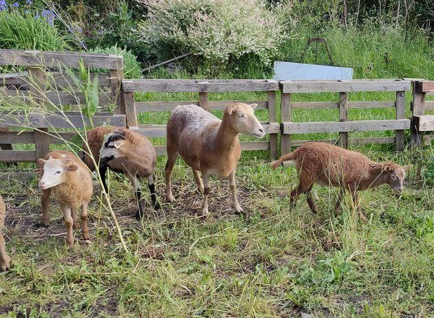 Owca z jagnietami