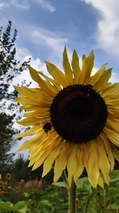 Nasiona słonecznika ozdobnego na kwiat Cięty Mix odmian/Faktura VAT Łabunie - image 1