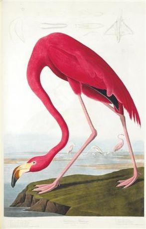 FLAMINGI reprodukcje XIX w. grafik do wystroju - ZWIERZĘTA