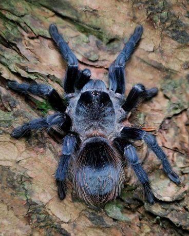 Pterinopelma sazimai самец паука птицееда для новичков тарантул
