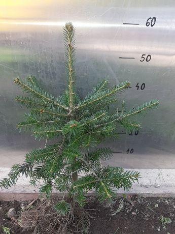 Jodła kaukaska 6 lat 40 cm - 60 cm