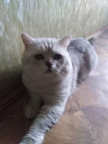 Кот для вязки шиншиловый.