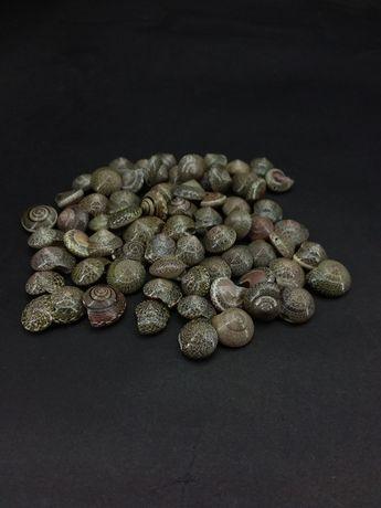Ракушки для декора Умбониум Вестериум