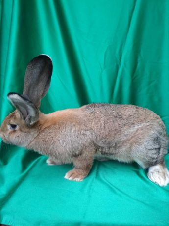 Кролі породи  фландер