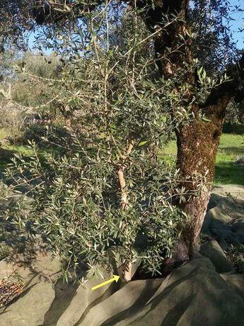 Vendo oliveiras da qualidade galega