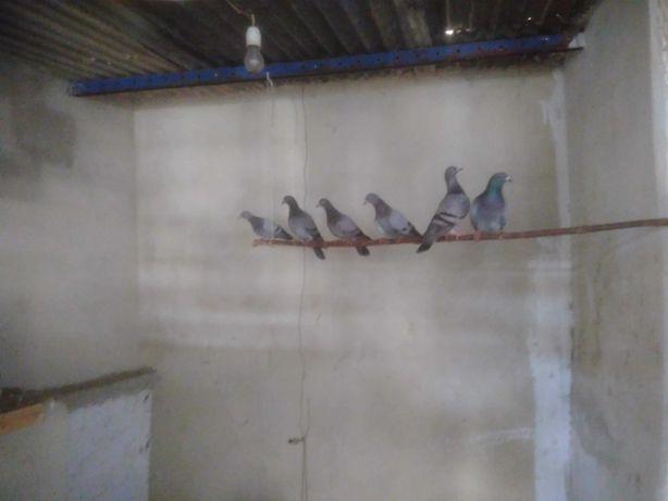pombos nacional de guizo