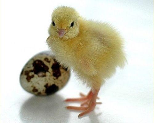 Яйцо перепелиное инкубационное: Техасец // Яйця перепелині інкубаційні