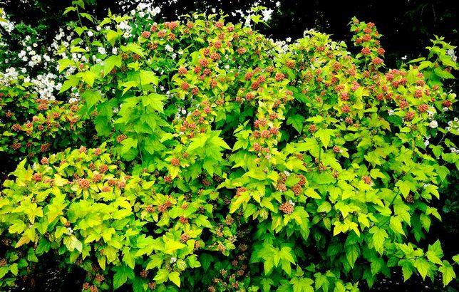 Pęcherznica mało wymagająca roślina, idealna na żywopłoty
