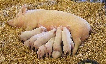 Послуги штучного осіменіння свиней в Житомирському районі