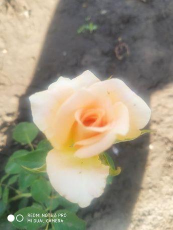 Саженцы роз, хосты флоксы ромашки пионы