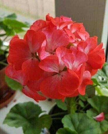 Красивый комнатный офисный цветок растение пеларгония герань