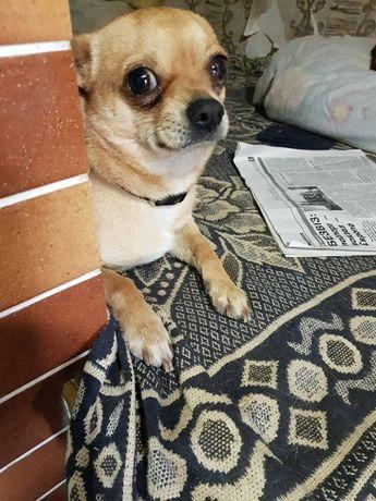 Продам симпатюльку щенка породи ЧИХУАХУА!!!