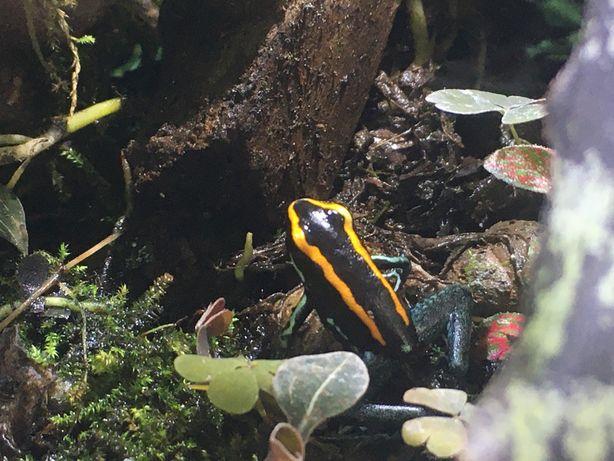 Лягушка Полосатый листолаз (Phyllobates vittatus)