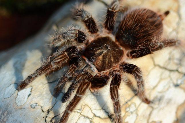 Brachypelma albopilosum самочка паука птицееда красивая для новичков