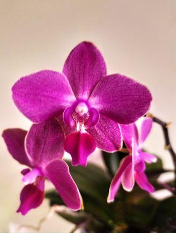 Акварелька.Три орхидеи в одном горшке.