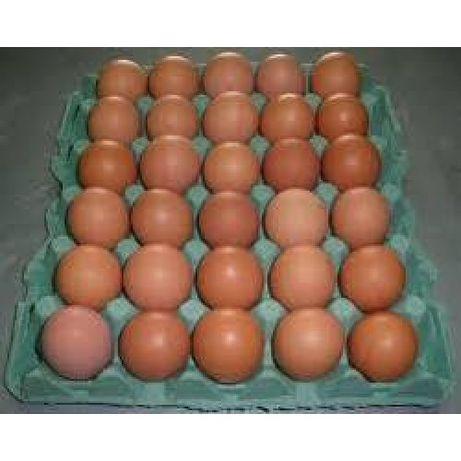Редбро C44 інкубаційне яйце