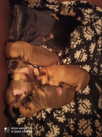 Продам Собаки чихуахуа
