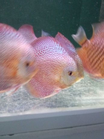 Discus Lss spotted paletki dyskowce